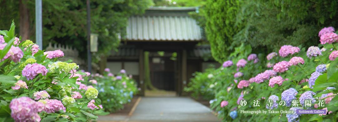 妙法寺の紫陽花