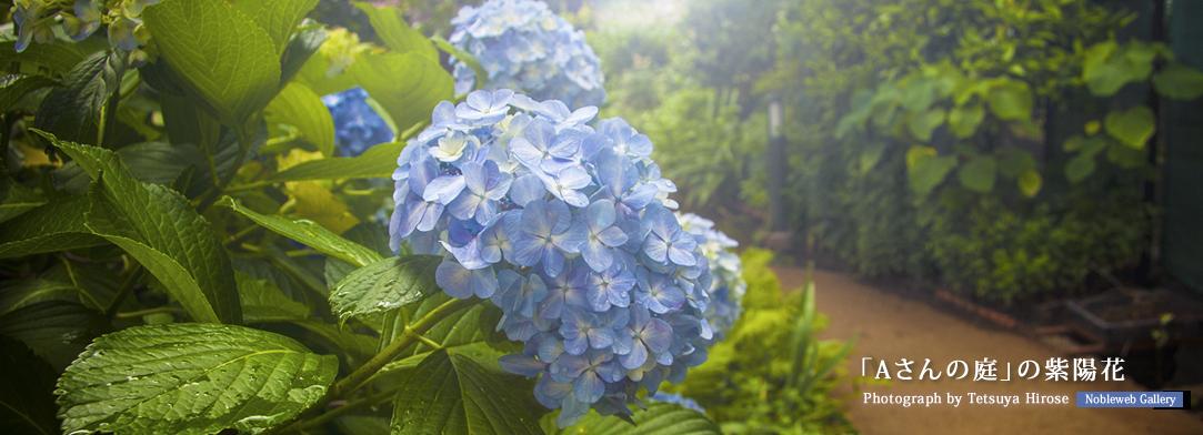 「Aさんの庭」の紫陽花