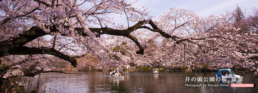 井の頭公園の桜、満開